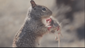 Do Squirrels Eat Mice
