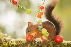 Do Squirrel Eat Tomatoes