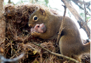 when do squirrels have babies